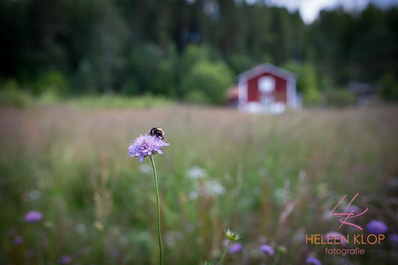 Bij in Zweden