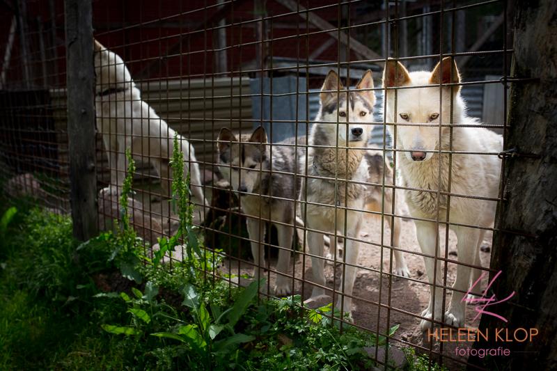 Huskies Zweden