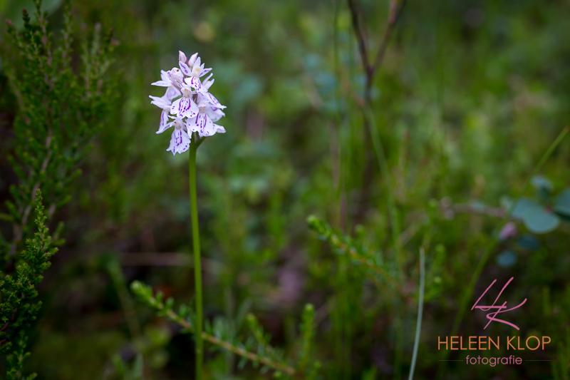 Wilde orchidee Zweden