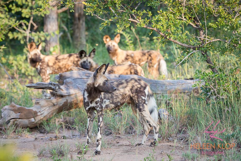 Wilde honden tijdens fotosafari zuid-afrika
