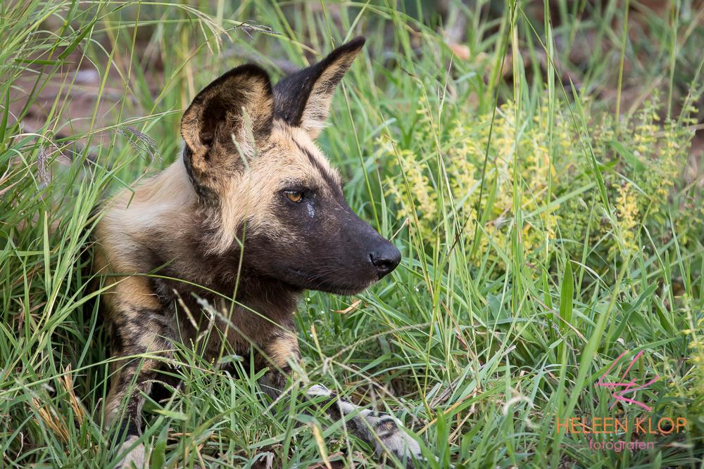 Wilde hond tijdens fotosafari zuid-afrika