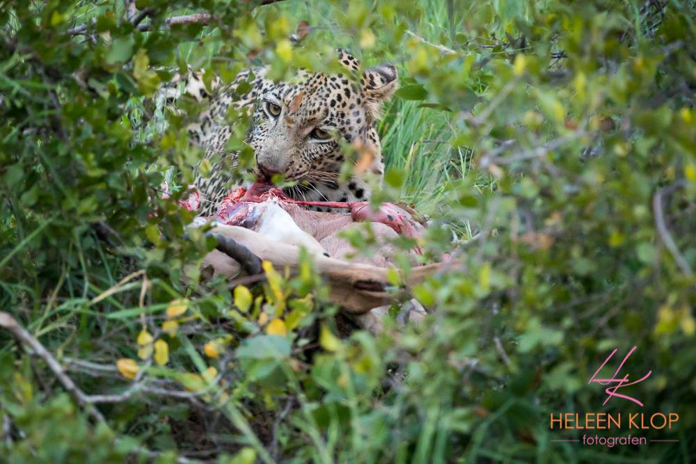 Luipaard met prooi tijdens fotosafari zuid-afrika