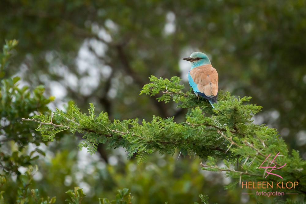 Zuid Afrikaanse vogel