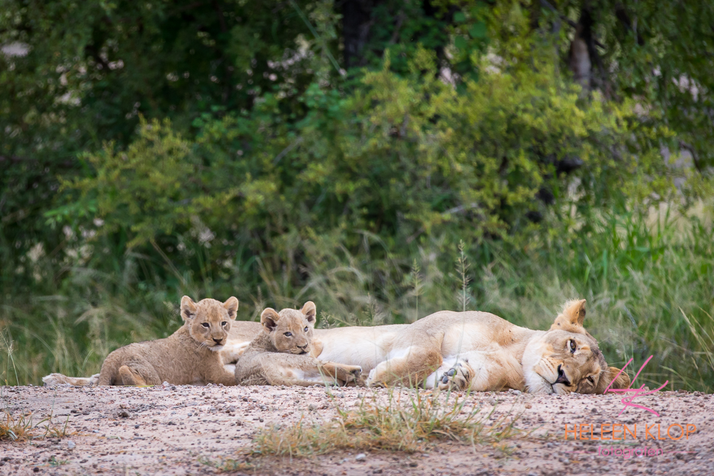 Leeuwin met welpjes tijdens fotosafari zuid-afrika
