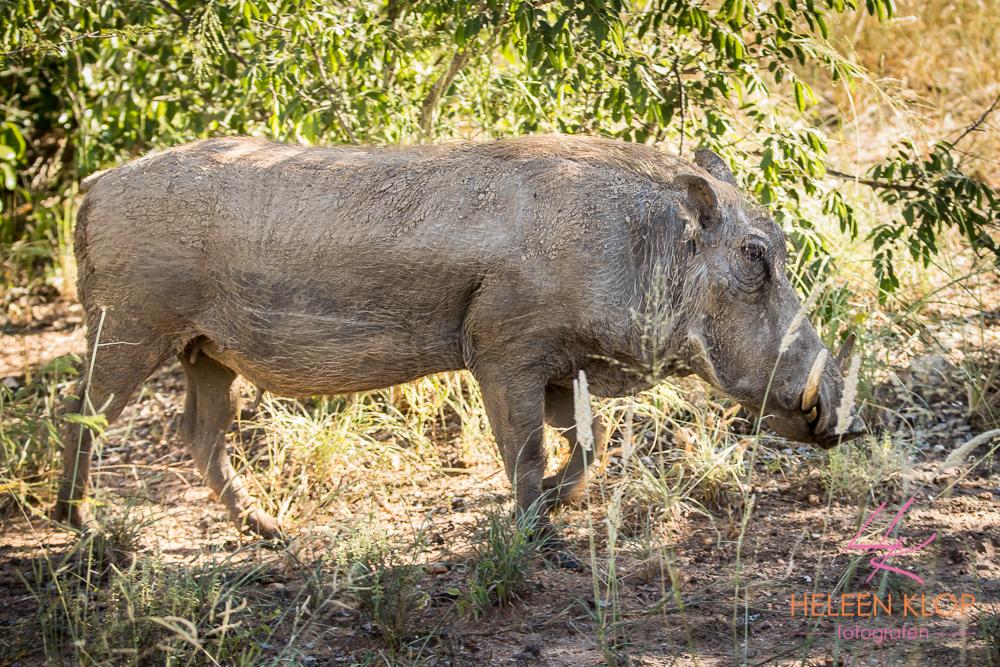 Wrattenzwijn in Zuid Afrika