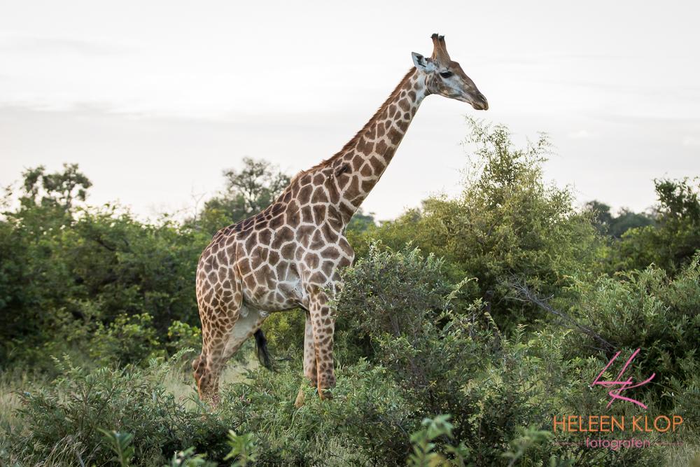 Giraffe in Zuid Afrika