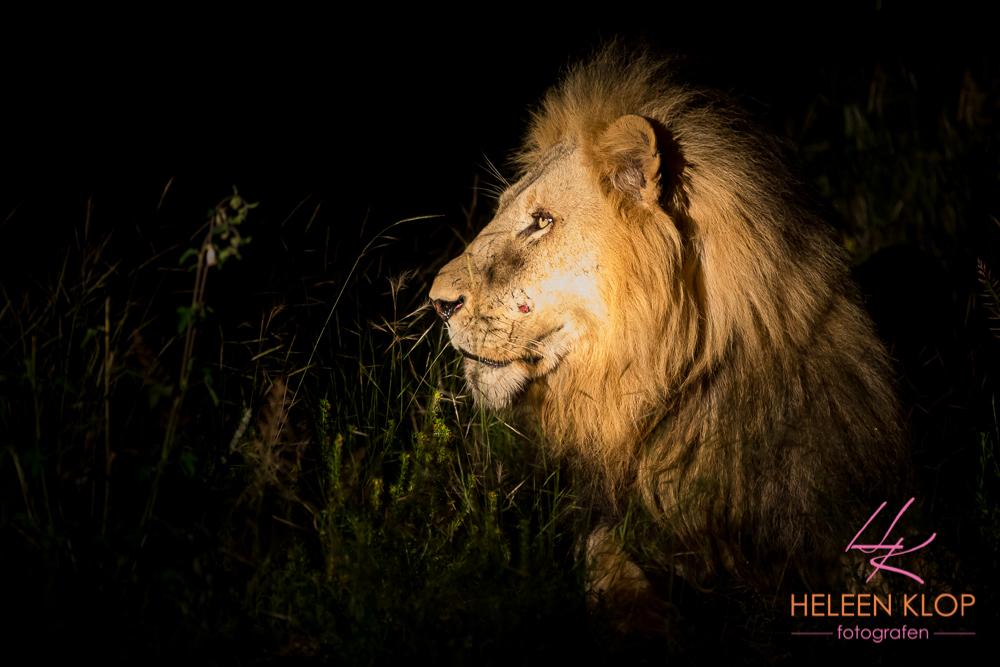 Leeuw in Zuid Afrika