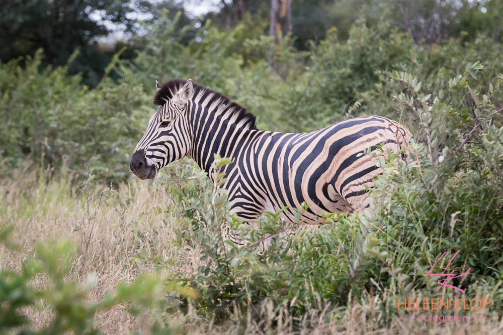 Zebra in Zuid Afrika