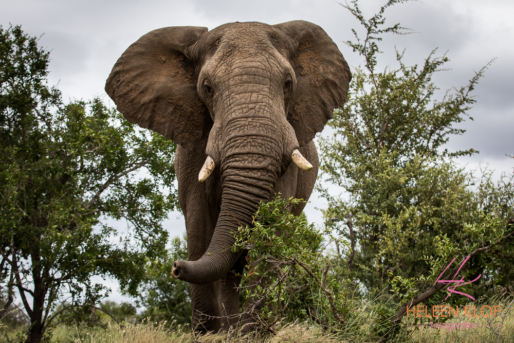 Olifant in tijdens fotosafari Zuid-Afrika