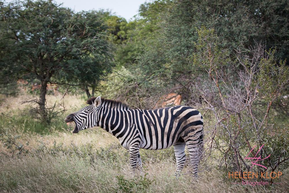 Zebra Zuid Afrika