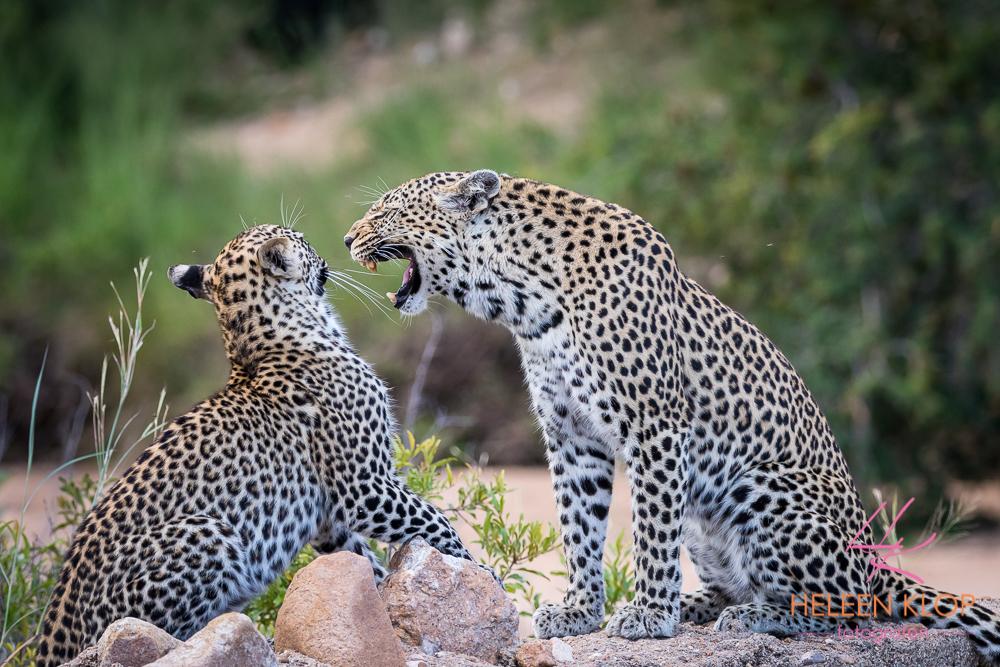 Luipaarden tijdens fotosafari Zuid-Afrika